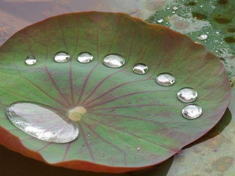 raindrops lotus